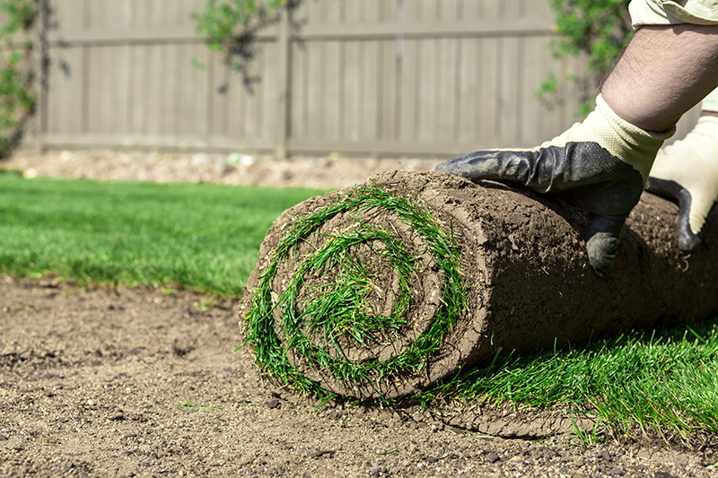 Renewing the lawn by planting sod in the Fall.